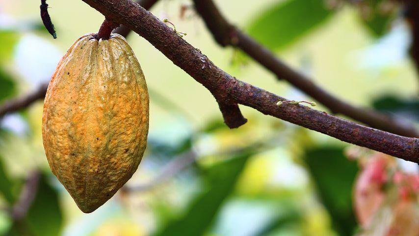 Kakaoschote am Baum