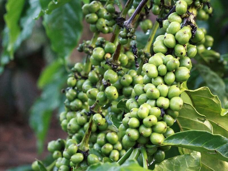 """Rohkost """"Grüner"""" Kaffee - Verwendung, Inhaltsstoffe und Nährwerte"""