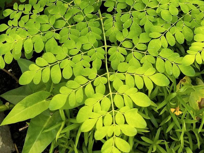 Moringa - Verwendung, Wirkung, Inhaltsstoffe und Nährwerte