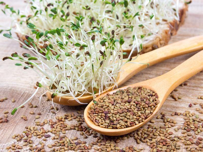 Bio Alfalfa Sprossen - Sprossanleitung, Inhaltsstoffe, Wirkung und Nährwerte